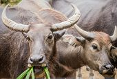 image of eat grass  - Two asian water buffaloes are eating grass - JPG