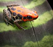 foto of poison dart frogs  - red reticulated poison dart frog - JPG