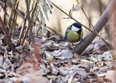 pic of great tit  - Great Tit spotted in the wild in Dublin, Ireland
