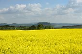 foto of rape-seed  - Rape field in early spring in Saxony Germany - JPG