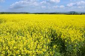stock photo of rape-seed  - Rape field in early spring in Saxony Germany - JPG