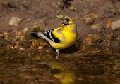 picture of goldfinches  - A beautiful American Goldfinch slowly transitioning from winter to summer plumage drinks and bathes in a small creek in a Wisconsin woodland - JPG