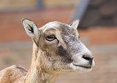 foto of hirsutes  - Portrait  of a female moufflon (Ovis musimon) ** Note: Soft Focus at 100%, best at smaller sizes - JPG