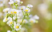 foto of chamomile  - Fine grown german chamomile - JPG