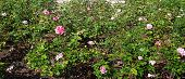 picture of rosary  - In this photo the blossoming rosary with bushes of pink roses is represented - JPG