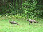 foto of long beard  - Male turkeys with long beards strolling thru the grass - JPG