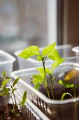 pic of seed  - Agriculture Seeding Plant seed growing concept selective focus - JPG