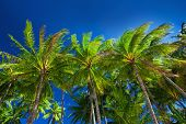 picture of palm  - Palm tree forest against the blue sky in Australia - JPG