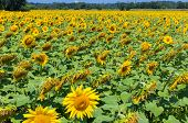 stock photo of heliotrope  - Field with sunflowers on a sunny day in France - JPG