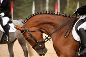 picture of girth  - Brown sport horse portrait during dressage competition