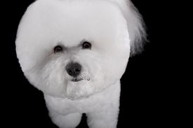 picture of bichon frise dog  - Beautiful portrait of a Bichon Frise dog breed on a black background - JPG