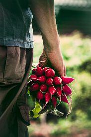 stock photo of radish  - Organic vegetables - JPG