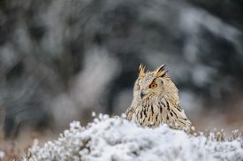 picture of snow owl  - Eurasian Eagle Owl sitting on the ground with snow in winter time. Freeze weather with closeup raptor.