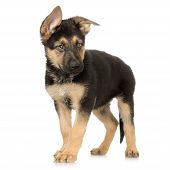 foto of german shepherd dogs  - german shepherd puppy standing in front of a white background - JPG