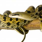 image of snakehead  - Rat snake in front of a white background - JPG