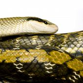 pic of snakehead  - Rat snake in front of a white background - JPG