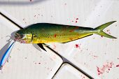 stock photo of mahi  - Dolphin fish bloody sport fishing with lure on mouth on boat deck - JPG