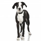 stock photo of pit-bull  - puppy American Staffordshire terrier crossed with a bernese moutain dogstanding up in front of a white background - JPG