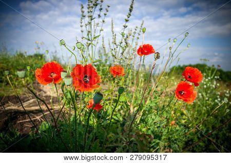 Flower Of Red Poppy In