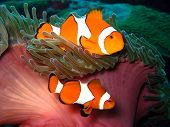 pic of clown fish  - 2 nice example of Clown fish swimming between sea plants