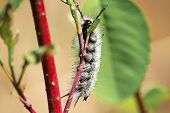 A Closeup Of A Tussock Moth Caterpillar Crawling On A Branch poster
