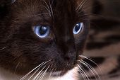 Closeup Portrait Blue Eyes Brown Snowshoe Cat Sitting On A Brown Blanket poster
