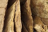 picture of tobaco leaf  - Dried tobacco leaves fine details closeup  - JPG