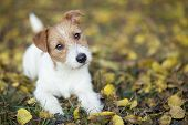 Pet Training Concept - Cute Happy Jack Russell Puppy Dog Looking In The Grass poster