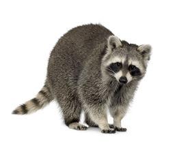 foto of raccoon  - raccoon  - JPG