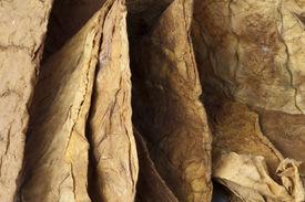 image of tobaco leaf  - Dried tobacco leaves fine details closeup  - JPG