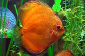 pic of diskus  - diskus fish in a tank - JPG