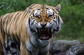 picture of unsafe  - Siberian tiger - JPG