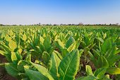 foto of tobacco barn  - Tobacco farm at Sukhothai province north of Thailand - JPG