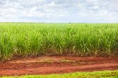 Sugar cane plantation in Cuba