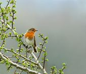 stock photo of robin bird  - robin sitting on the branch of a hawthorn tree in spring - JPG
