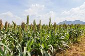 stock photo of millet  - Sorghum or Millet field with blue sky background - JPG
