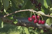 stock photo of bing  - Sweet Bing Cherries on Tree Branch at Fruit Tree Farm