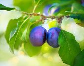 stock photo of plum fruit  - Ripe Plums on branch - JPG