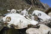 image of cow skeleton  - Pile of cow skulls on a trail near Huaraz, Peru