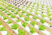 stock photo of gents  - Hydroponic vegetables growing in greenhouse at Genting Highlands Malaysia - JPG