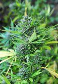 picture of ganja  - Close up photo of mature marijuana bud - JPG