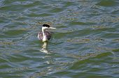 foto of grebe  - A Western Grebe Swimming in the Lake - JPG