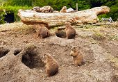 picture of prairie  - The view of group of cute prairie dogs - JPG