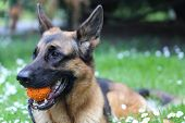 stock photo of shepherds  - German Shepherd with a toy on the grass - JPG
