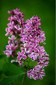 picture of lilac bush  - Close up of a purple and white Lilac bush - JPG