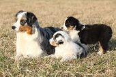 image of australian shepherd  - Beautiful Australian Shepherd Dog lying with its puppies
