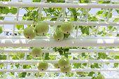 pic of garden snake  - the Wax gourd in a vegetable garden - JPG