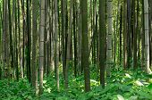 stock photo of bamboo forest  - Bamboo forest in Damyang South Korea taken during summer - JPG