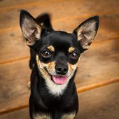 stock photo of miniature pinscher  - A very small black dog probably a Prague Ratter or Miniature Pinscher looks extremely attentive to the camera - JPG