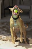 ������, ������: Dog about to catch ball